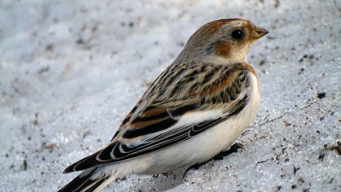 Пуночка, или снежный подорожник Орнитология, Птицы, Аэропорт, Кодинск