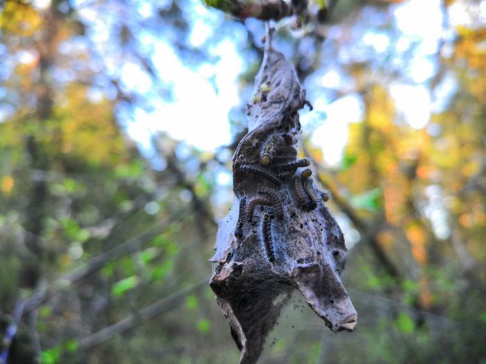 Помогите определить вид гусеницы Насекомые, Гусеница, Жуть