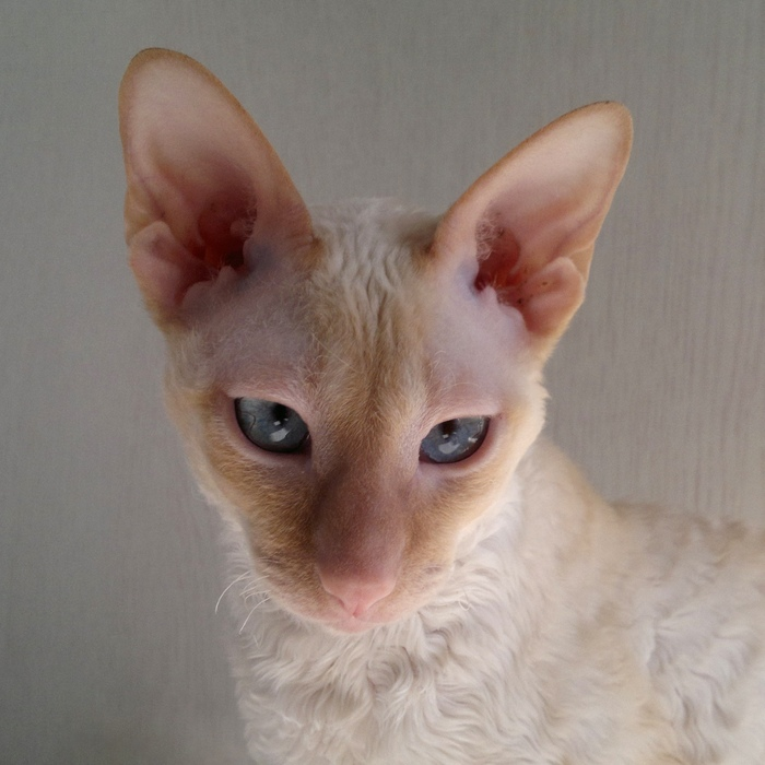 Эти глаза напротив Котомафия, Корниш-Рекс, Кот