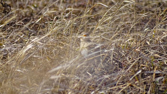 Полевой жаворонок Орнитология, Птицы, Жаворонки, Животные