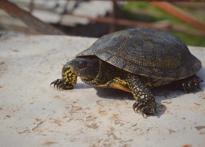 Маленький дракон или просто немного черепахи в ленту. Часть 1. Черепаха, Животные, Природа, Фотография, Весна, Дача, Цветы, Длиннопост