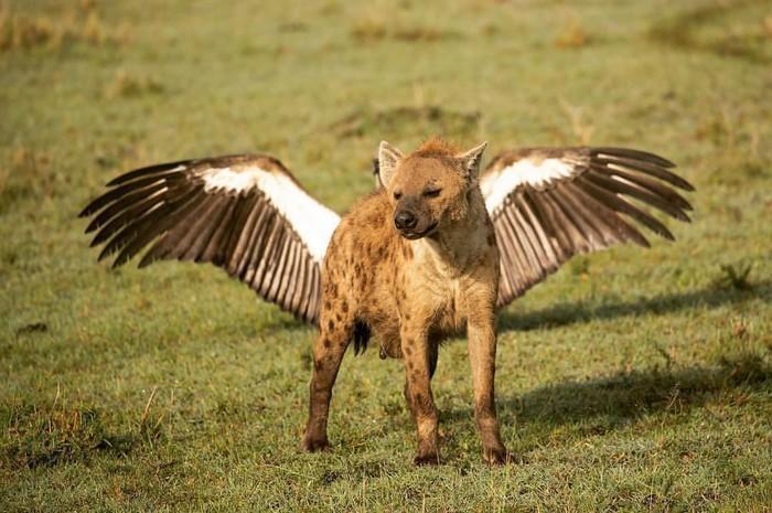А мне летать охота Фотография, Животные, Гиена, Птицы, Крылья, Удачный ракурс