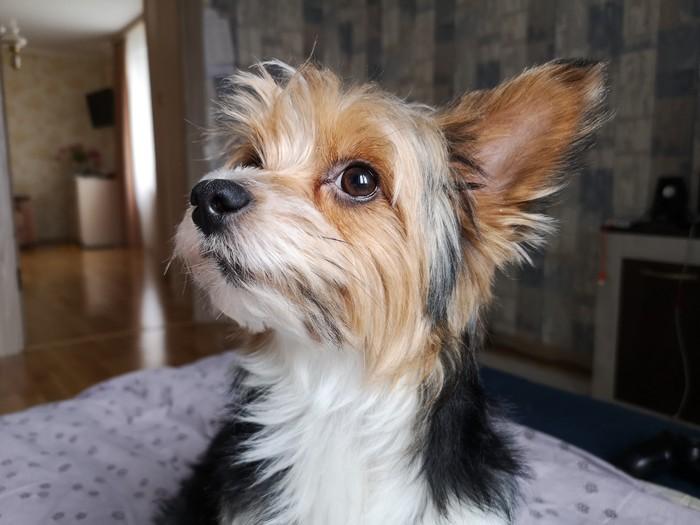 Пропал мой пёс. Хелп. Поиск животных, Московская область, Пропала собака, Найти собаку, Длиннопост, Без рейтинга, Истринский район