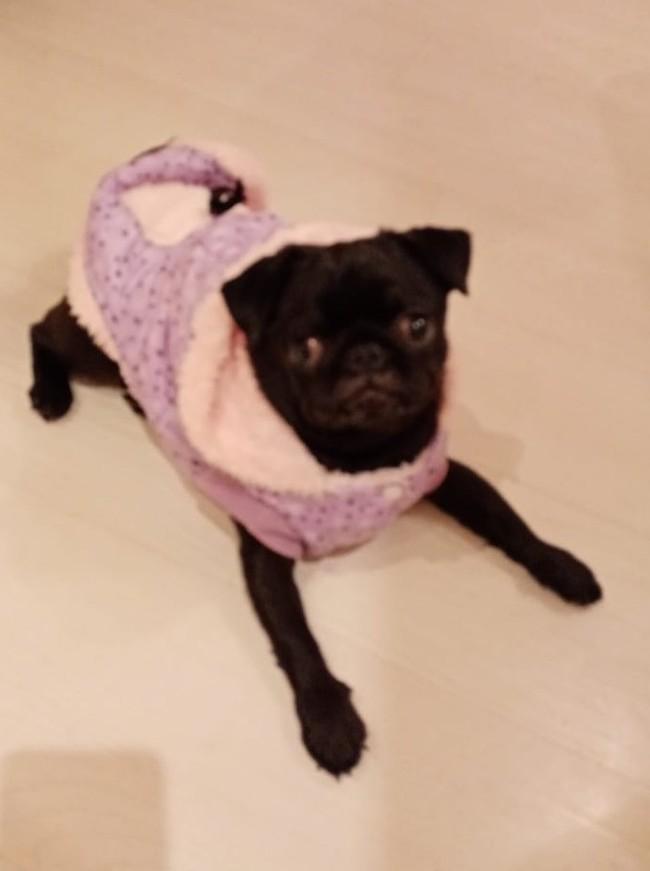 Подарок от соседей Мопс, Одежда, Добро, Видео, Длиннопост, Собака, Домашние животные, Комбинезон, Одежда для животных