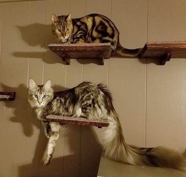 Сигнус- обладатель самого длинного кошачьего хвоста. Котомафия, Кот, Хвост, Длиннопост