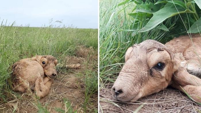 В Сети появились трогательные фото первых в этом году детенышей сайгаков в Казахстане Казахстан, Сайгак, Степь, Фельдшер, Детеныш, Милота, Животные