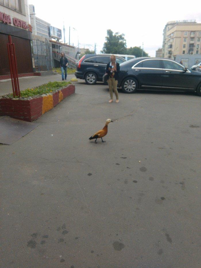 Как помочь утке? Москва, Птицы, Утка, Огарь, Сила Пикабу, Помощь, Защита животных, Длиннопост