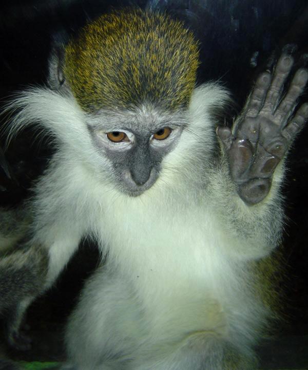 Про обезьяньего мужика Обезьяна, Зоопарк, Длиннопост