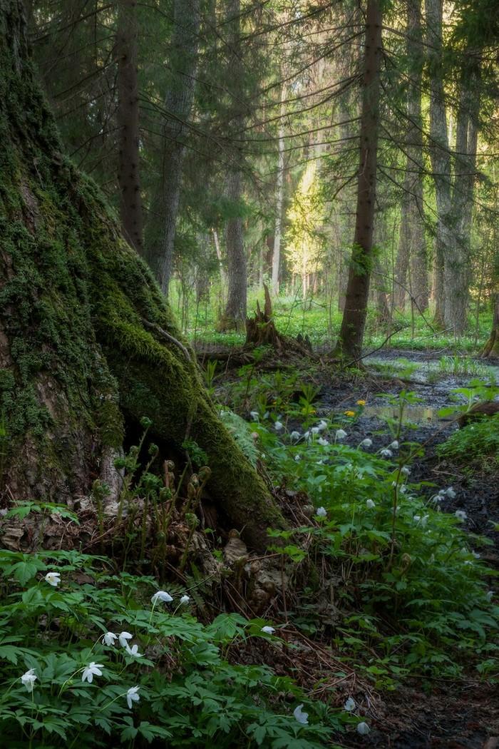 Утром в лесу Фотография, Лес, Пейзаж, Рассвет, Утро