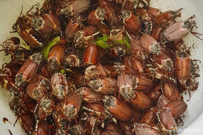 Майские жуки Майский жук, Саранча, Нашествие, Сад, Длиннопост