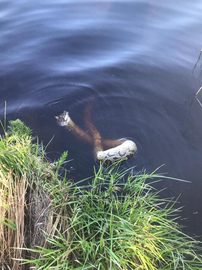 Тигровый питон без головы в речке в Ленобласти Санкт-Петербург, Отдых, Рыбалка, Неприятная находка, Длиннопост