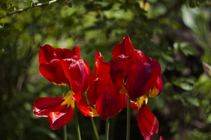 Весенний сад Весна, Россия, Тюльпаны
