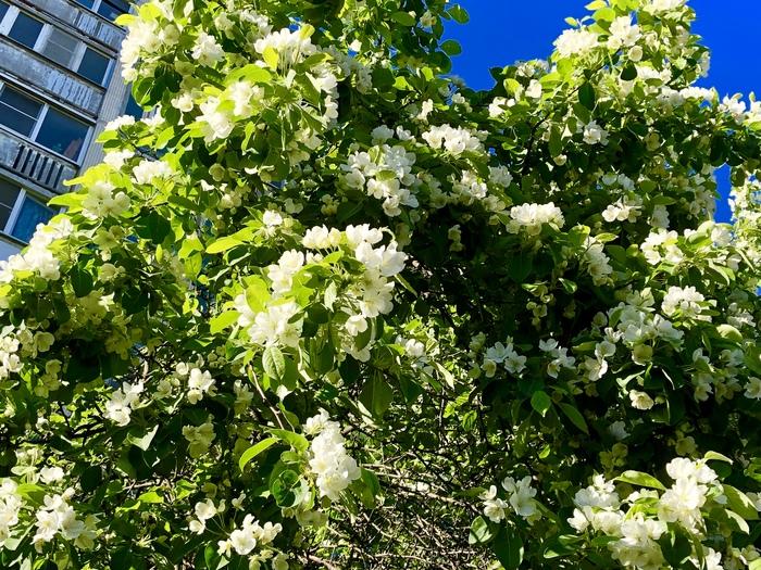 Май цветущий Цветы, Весна, Май, Санкт-Петербург, Длиннопост