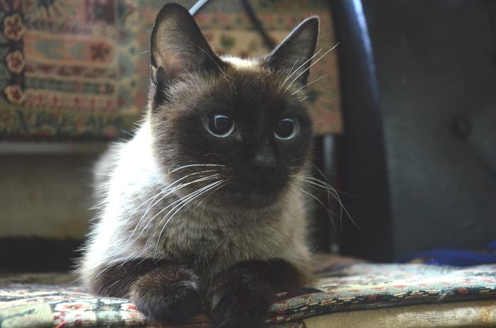 Грустная (с почти хорошим концом) история про то, что порода - не значит, что кошка будет дома Без рейтинга, Москва, Кот, Котомафия, В добрые руки, Лига Добра, Длиннопост