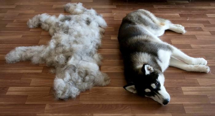 Тут тоже две собаки Собака, Хаски, Показалось