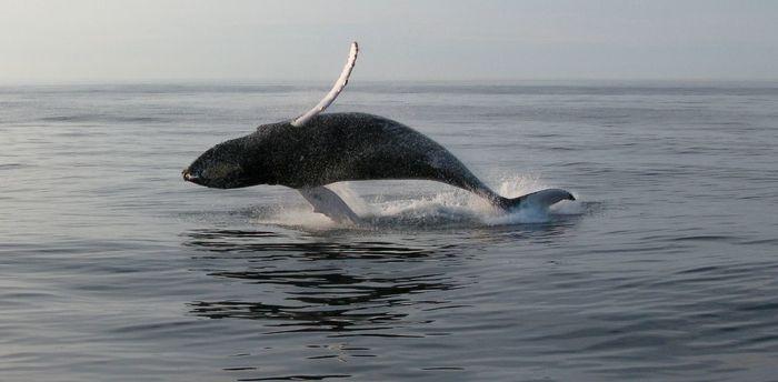 Скоро мы узнаем, почему горбатый кит устойчив к онкологическим заболеваниям Китообразные, Горбатый кит, Продолжительность жизни, Рак