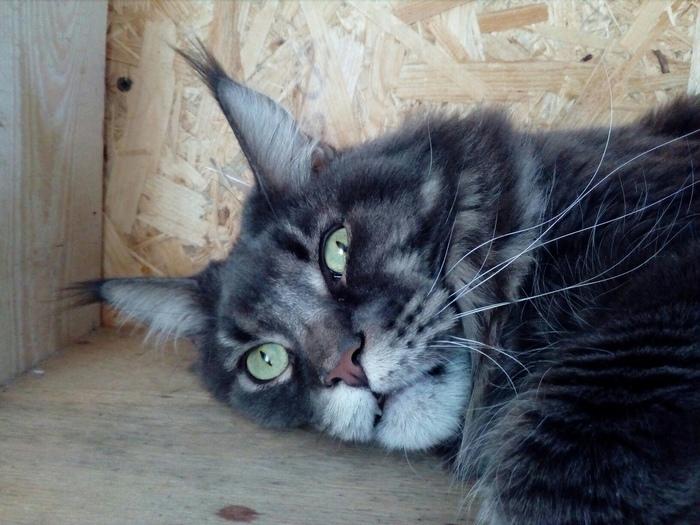 Мысли перед сном Кот, Мейн-Кун, Длиннопост