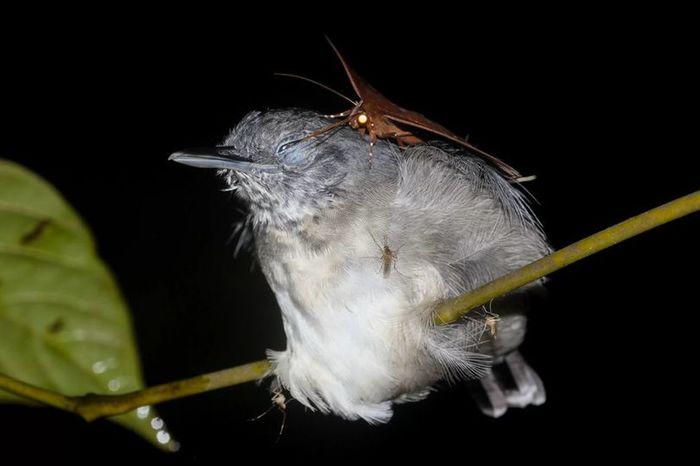Мотылек пьет птичьи слезы Амазония, Слезы, Птицы, Мотылек