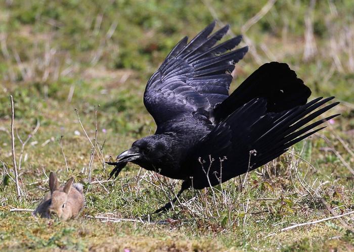 Крылатый охотник Кролик, Птицы, Охота