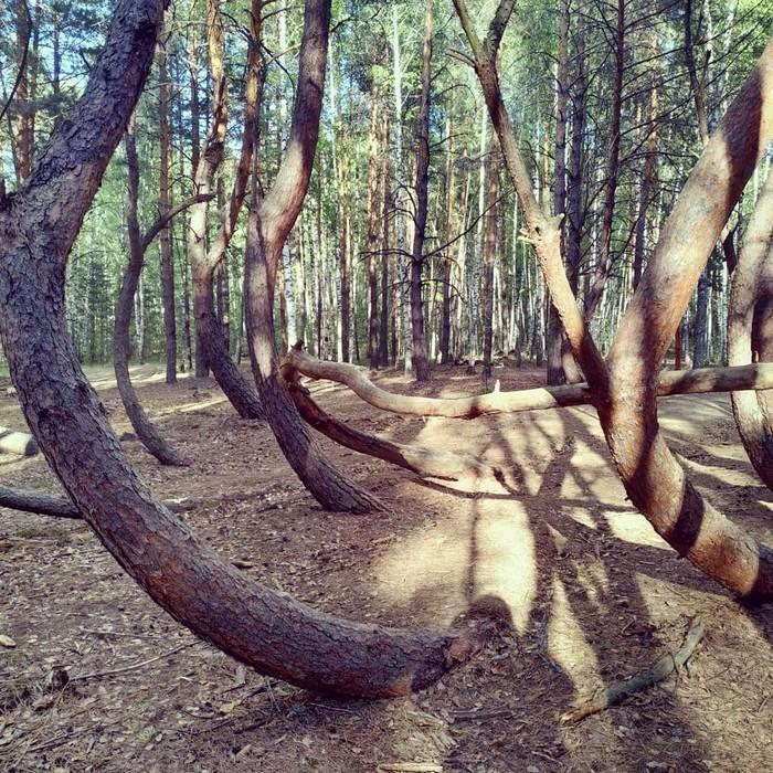 Пьяный лес Пьяный лес, Загадки природы феномен, Лес, Длиннопост
