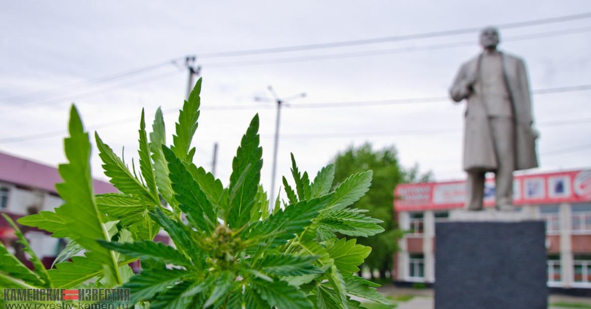 Дурман и конопля страны легализованная марихуана