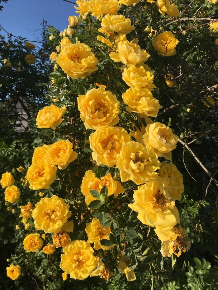 Красоты вам в ленту! Мои розы. Дача, Цветы, Роза, Деревня, Сельское хозяйство, Дачники, Сад, Садоводство, Длиннопост