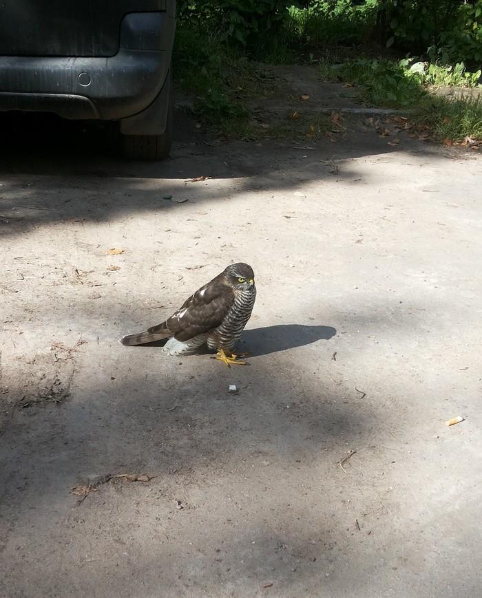 Встреча на парковке. Птицы, Встреча, Ястреб