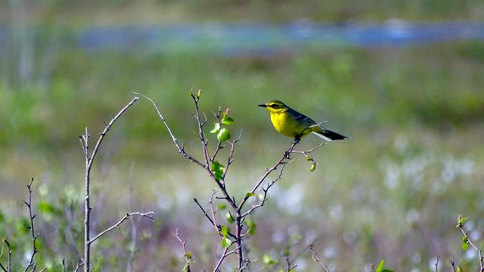 Маленькое солнце Магадана Птицы, Животные, Орнитология, Биология, Фотография, Магадан