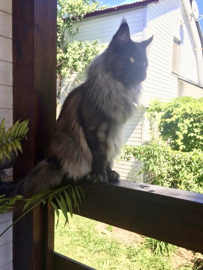 Летний кот Кот, Котомафия, Лето, Дача, Длиннопост, Мейн-Кун