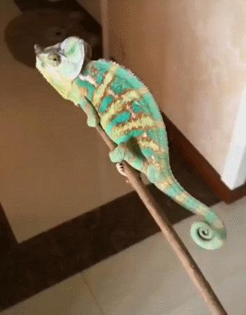 Зачем нужен домашний хамелеон Хамелеон, Муха, Гифка
