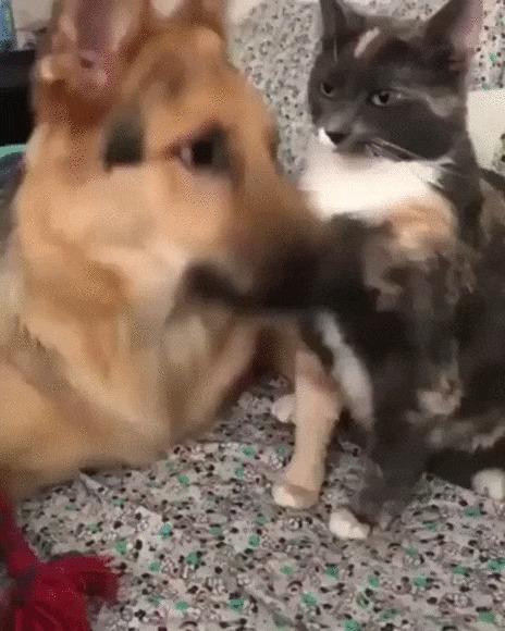 Ну приласкай меня! Собака, Кот, Домашние животные, Ласка, Вылизывать, Милота, Видео, Гифка