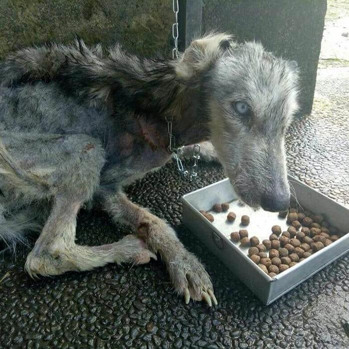 Парень подобрал бездомную собаку и изменил её так, что люди наконец узнали в ней хаски Собака, Животные, Длиннопост, Бали, Спасение животных