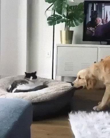 Наглый захват Кот, Собака, Домашние животные, Лежанка, Захват, Webm, Гифка, Коты и собаки вместе