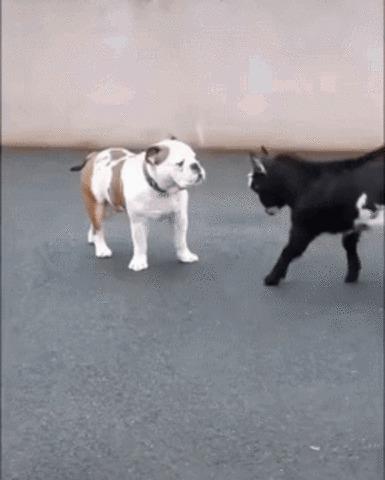 Давай бодаться Собака, Английский бульдог, Козленок, Бодание, Милота, Гифка, Козел, Детеныш