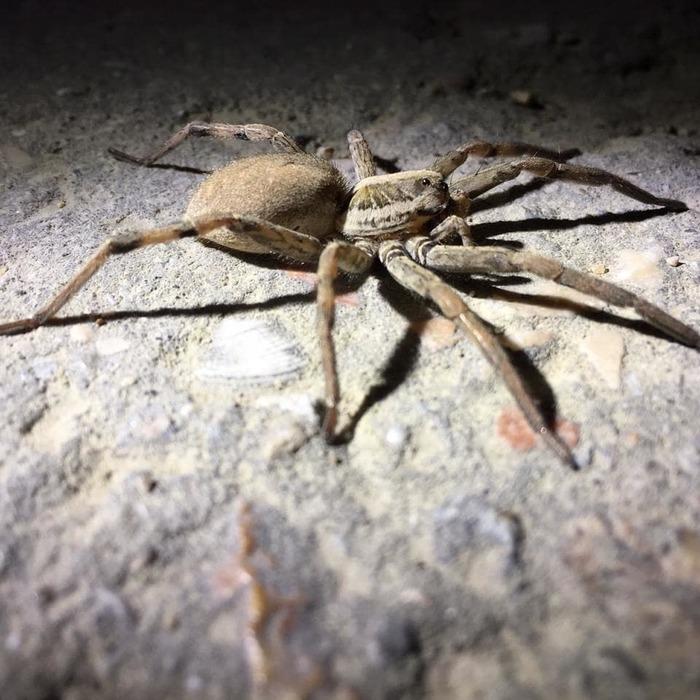 всего оказываться тарантул крымский фото и описание отнеслись юмором, предположив