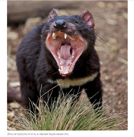 Тасманский дьявол: «Закрой свой Зубальник!» или статья про самого безумного хищника - фото 1