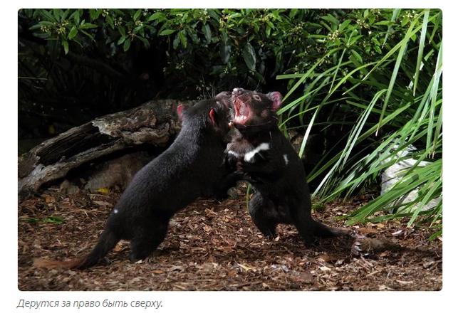 Тасманский дьявол: «Закрой свой Зубальник!» или статья про самого безумного хищника - фото 6