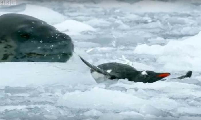 Антарктида. Самый опасный хищник Южного океана )