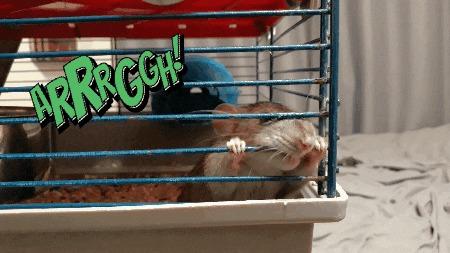 Вериса: кровь и песок Крыса, Декоративные крысы, Домашние животные, Животные, Питомец, Длиннопост, Гифка, Фотография