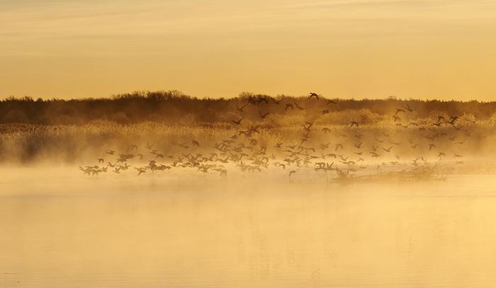 Рассветный иней. Восход, Рассвет, Река, Туман, Иней, Утка
