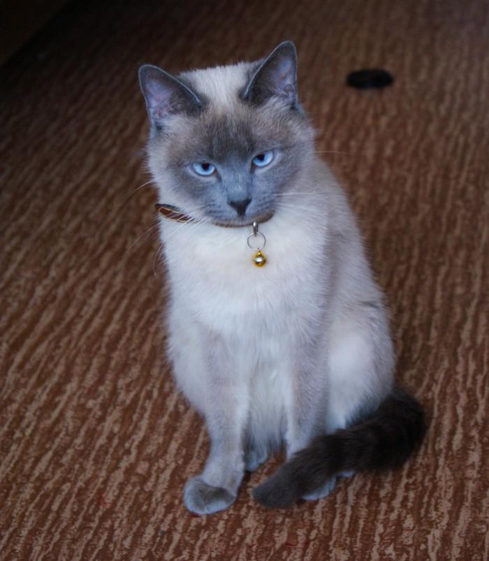 Мои котостадо: Сенди, Юки и Василий Чудесные котики), Люблю котика, Длиннопост, Котомафия, Кот, Сиамский кот