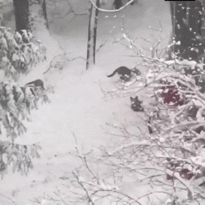 Пока мама на разведке, лисята дурачатся в снегу
