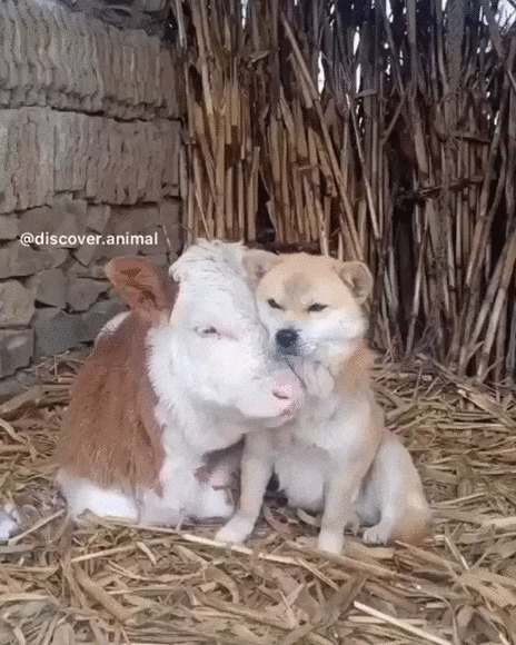 Жмемся мы друг к дружке, чтоб теплее стало Собака, Теленок, Корова, Детеныш, Домашние животные, Обнимашки, Милота, Гифка