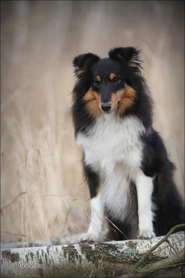 Помогите найти собак! Без рейтинга, Собака, Поиск, Москва, Сергиев Посад, Ярославское шоссе, Шелти, Помощь, Длиннопост