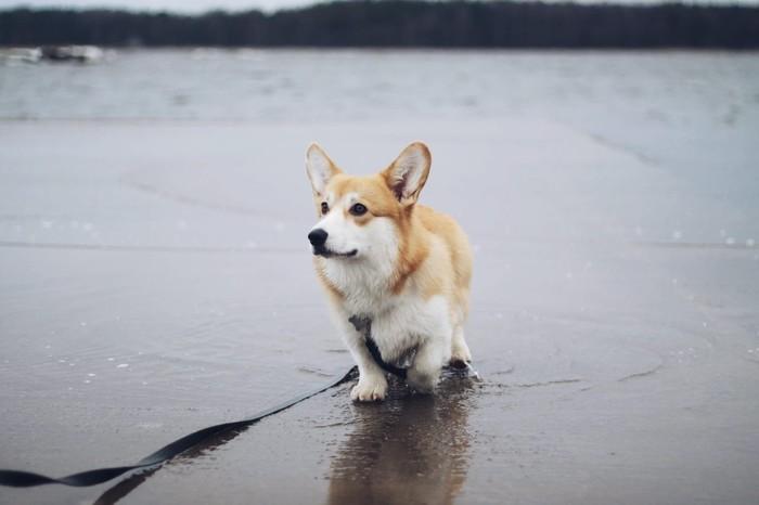 Северный пёс