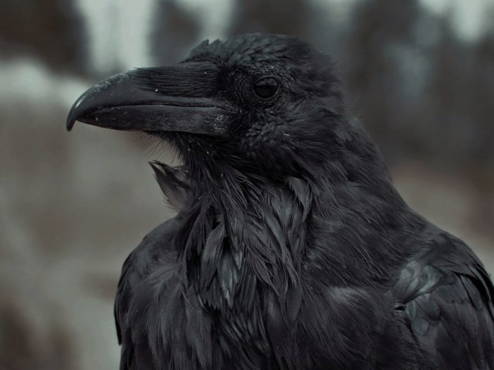 Картинка черный ворон смерти