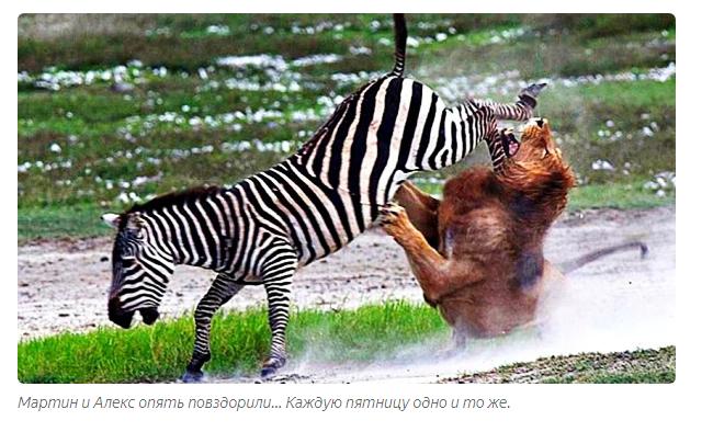 Зебра Невинные лошадки оказались отморозками похлеще бегемотов