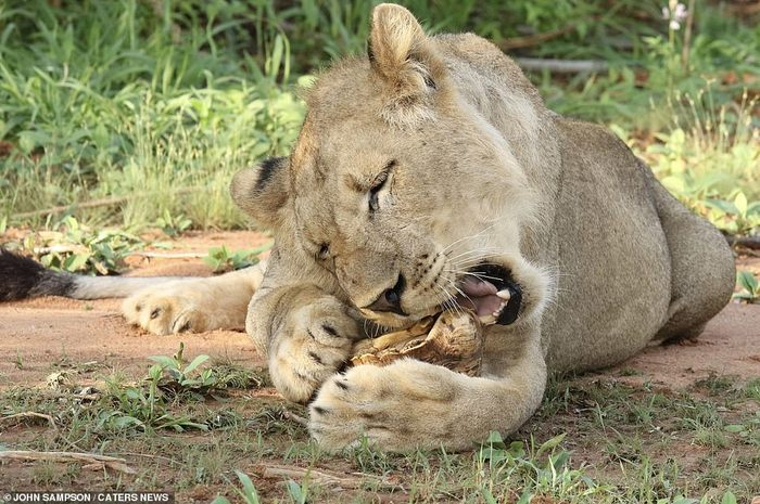 Львица попыталась сделать Кусь черепахе