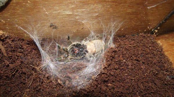 История начинающего пауковеда Экзотические животные, Паук, Тараканы, Насекомые, Длиннопост, Гифка, Пауки-Птицееды