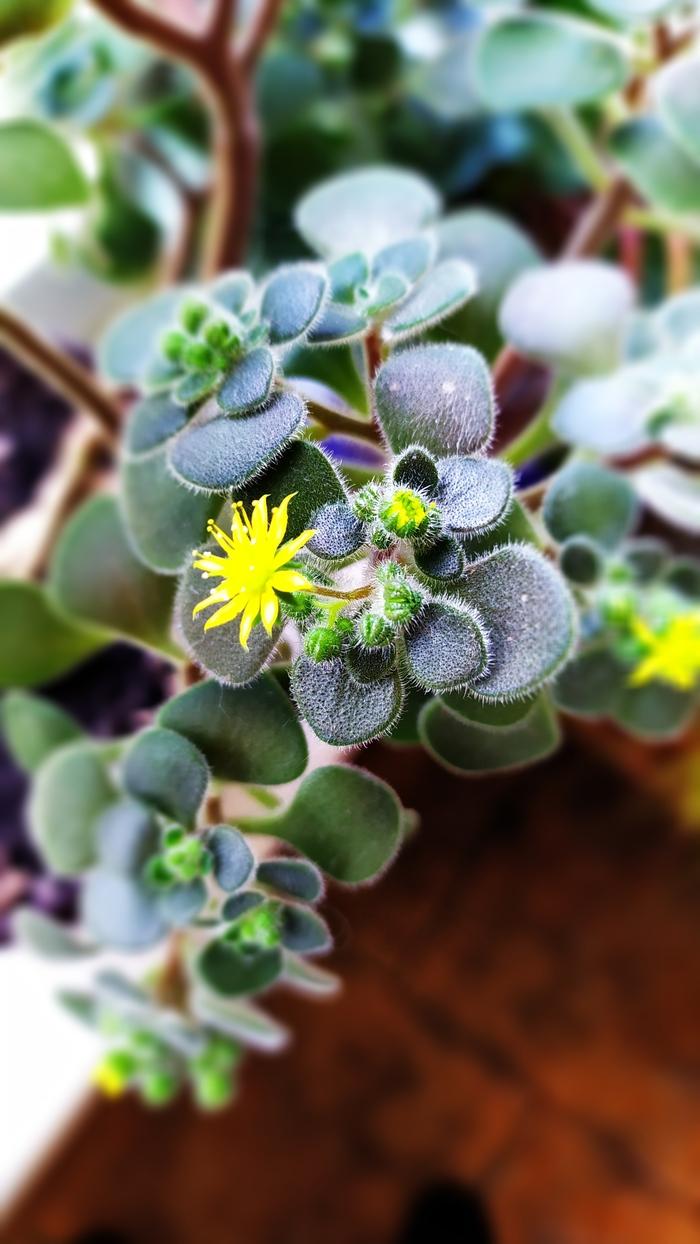 Обои цветок, эониум. Макро foto 19